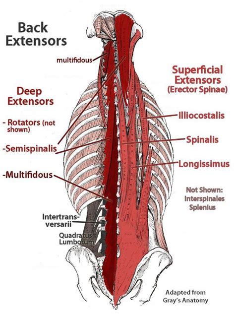 When you lean back, part of your body's weight goes into the chair, instead of straight down your spine. back extensors (With images)   Muscle anatomy, Lower back muscles anatomy, Muscle diagram