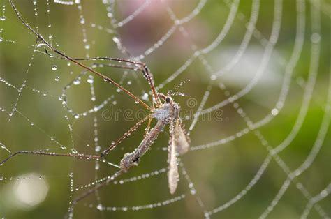 la toile d araignee moustique dans la toile d araignee images stock image 10969524