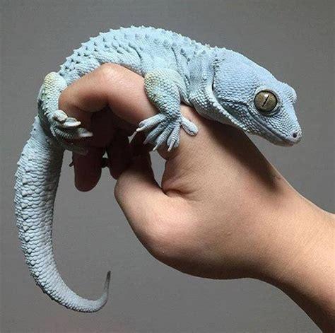 erhaeltlich  verschiedene tokay geckos morphs zum verkauf
