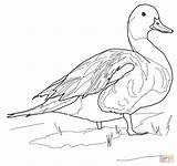 Duck Coloring Pages Ducks Pintail Pond Mallard Drawing Northern Gannet Printable Supercoloring Drawings Sketch Birds Template Paper Games Print sketch template