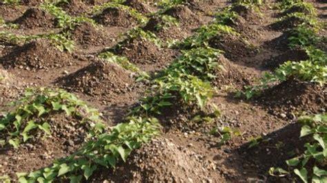 kumara plant care harvest storage tips stuffconz