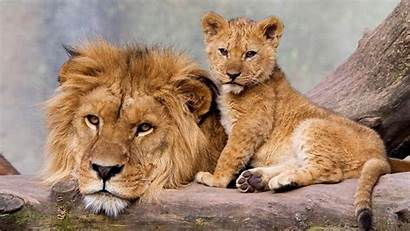 Lion Laptop Father Son Adult Young Animal