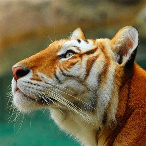 Best Images About Animals Big Cats Pinterest