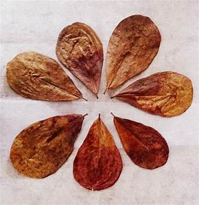 1000 Pieces Dry Indian Almond Leaves – Dry Indian Almond ...