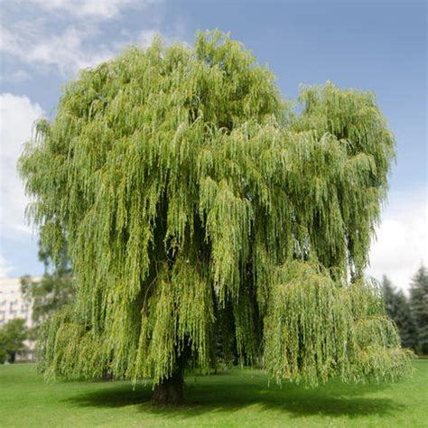 Im Garten Wuchs Der Baum by Trauerweide Pflanzen Und Pflegen Mein Sch 246 Ner Garten