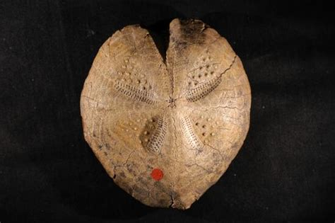 sand dollar fossil echinoderms image gallery animals