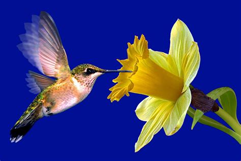 hummingbird wallpaper  screensaver anband hd