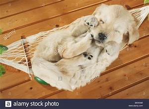 Golden Retriever dog puppy sleeping hammock Stock Photo ...