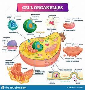 Cell Organelles Biological Vector Illustration Diagram