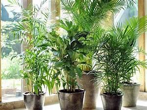 Zimmerpflanzen Die Direkte Sonne Vertragen : palmen als zimmerpflanzen sorten standort pflege ~ Markanthonyermac.com Haus und Dekorationen