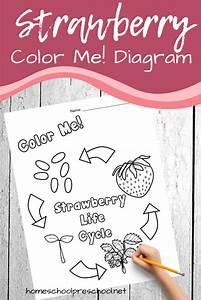 Printable Strawberry Life Cycle Diagram For Preschool