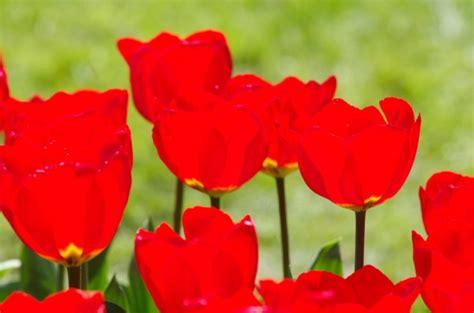 Bulbi Tulipani Quando Piantarli by Bulbi Di Tulipano Quando Piantarli Pollicegreen