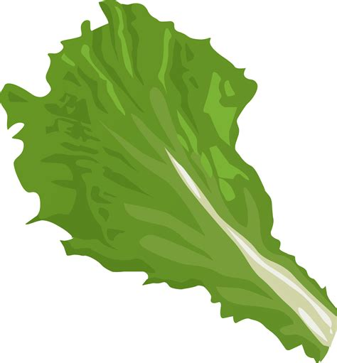 Lettuce Clipart Lettuce Clipart Transparent Background Pencil And In