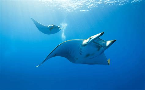 picture  manta ray hd desktop wallpapers  hd