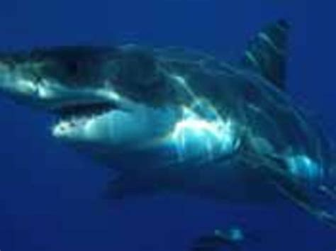 Fishing Boat Attacked By Shark South Africa by Great White Shark Attacks Kayak Fisherman Off The