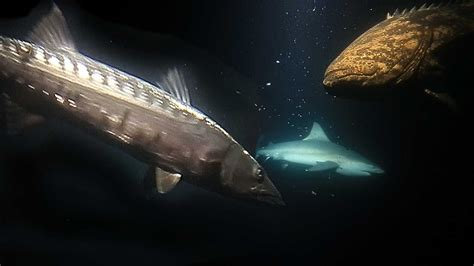 shark barracuda grouper attack