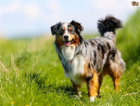 core personality traits  herding  shepherding