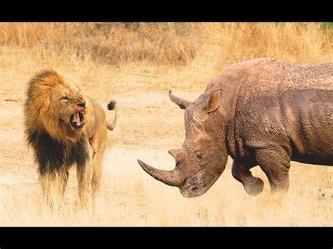 rhinoceros attaque lion hd youtube