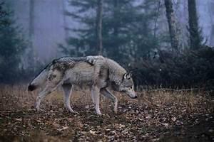 Symbole Du Loup : des loups envahissent l aquitaine dinosoria ~ Melissatoandfro.com Idées de Décoration