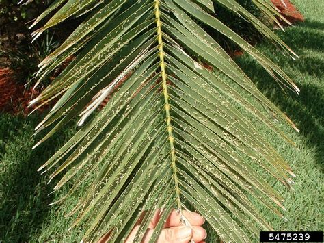 graphiola leaf spot graphiola phoenicis  canary