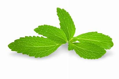 Stevia Leaves Plant Sweetener Exactly Starbucks Herbal