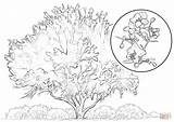 Tree Coloring Elm Palo Verde Pages Yellow Cypress Bald Printable Drawing Template Sketch Designlooter 725px 67kb 1024 sketch template