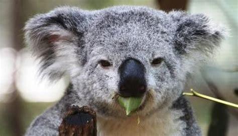 koalas stomachs   animals momme