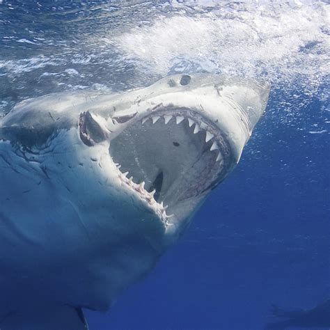 great white shark national geographic