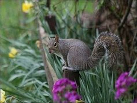 how to keep squirrels out of your garden for pesky critters on squirrel companion