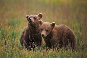 Cute-Baby-Bears-2.jpg 950×632 pixels | Animals | Pinterest ...
