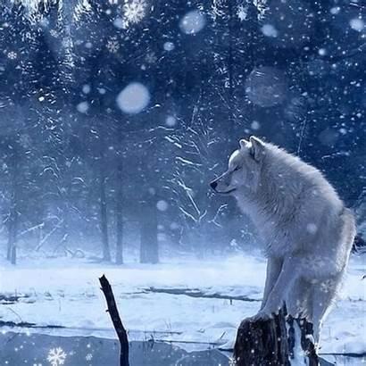Wild Wolf Animals