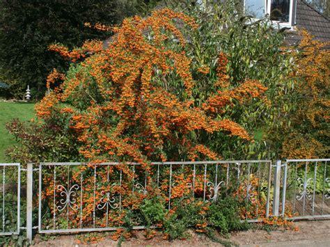 Feuerdorn 'Orange Glow' - Pyracantha 'Orange Glow ...