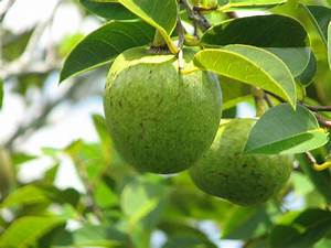Annona glabra - Wikipedia