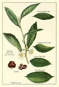 Tea leaves botantical drawing | Black Tea | Pinterest ...
