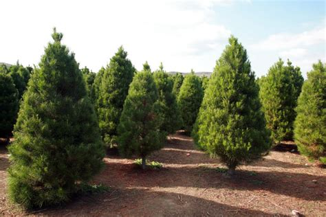 christmas trees could be used to help sterilize medical