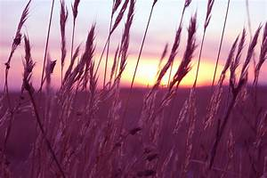 Study Looks at Health Benefits of Purple Wheat | U of G News  Purple
