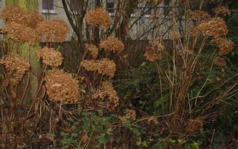 hortensien erfroren was tun h 228 rte einiger hortensien