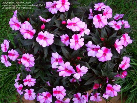 new guinea impatiens plantfiles pictures new guinea impatiens sonic sweet cherry impatiens x hawkeri by r20r07r