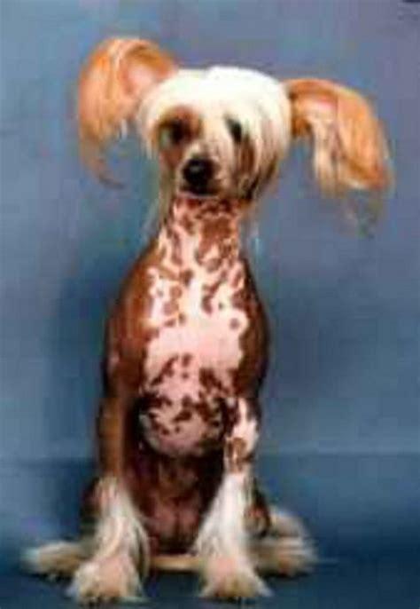 ugliest dog in the world 01 jpg