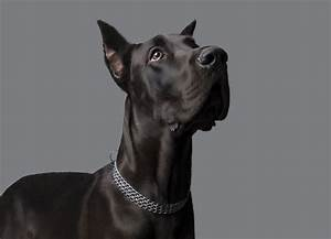 Cute Facts to Know Before Getting a Kind Great Dane-Pit ...