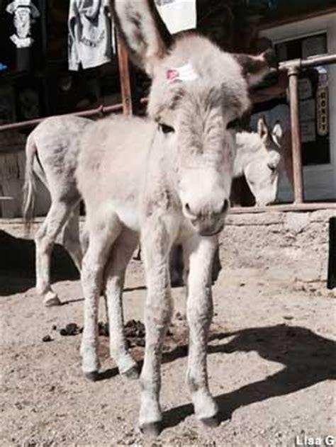 oatman az living ghost town burros  gunfights