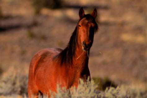 horse north american aboriginal horses america native extinction managed wild heaven go