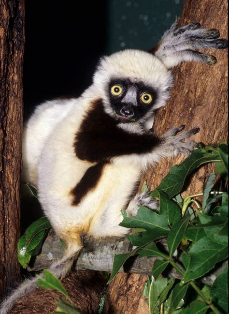 jovian star  zoboomafoo passes  duke lemur center