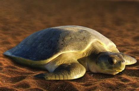 endangered sea turtles focusing   conservation