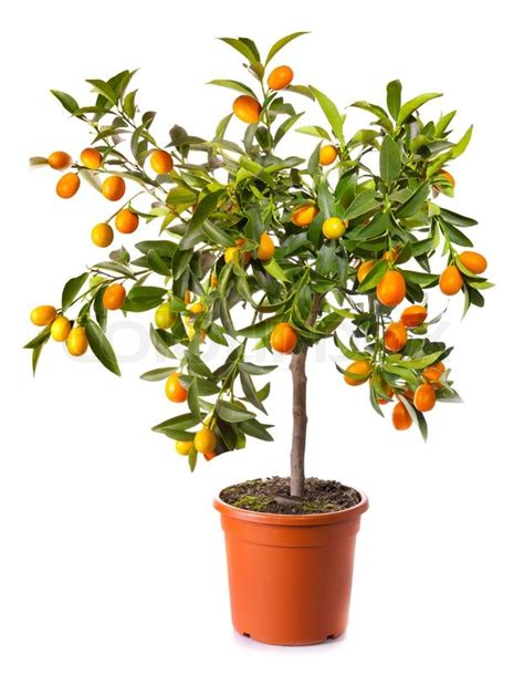 Small Citrus Tree In The Pot Isolated On White Stock