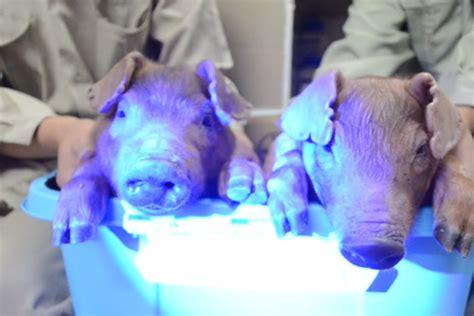scientists create glow   dark pigs  jellyfish