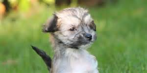 What Dogs Do Not Shed Hair by Chinese Crested Information Characteristics Facts Names