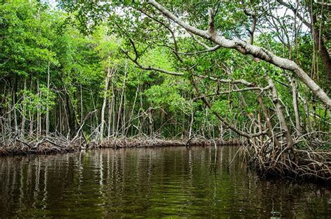 sea level rise killing florida mangroves fiu study warns