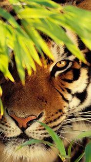 Phone & Celular Wallpaper : Tiger enjoying some shade ...