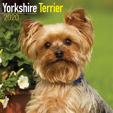 Yorkshire Terrier Calendar 2020 at Calendar Club
